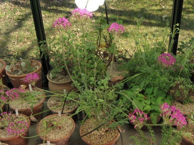 Pelargonium incrassatum Img_5610