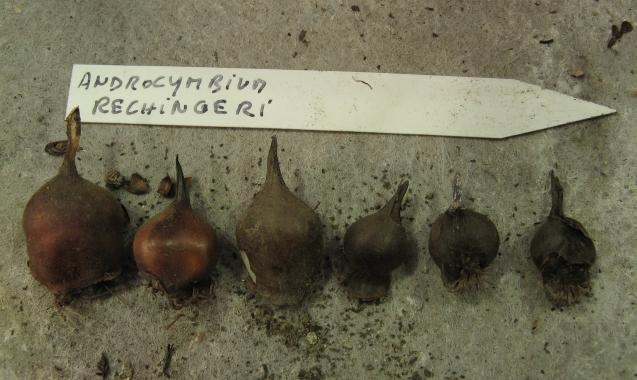 Androcymbium rechingeri Img_5612