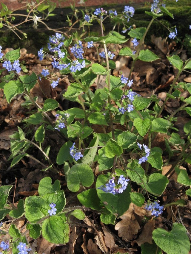 Brunnera macrophylla - Page 2 Img_5813