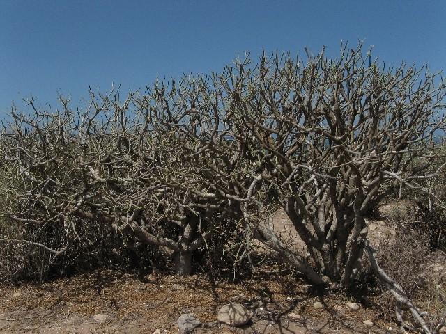 Herborisations marocaines Img_6216