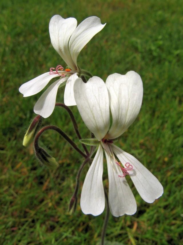 Pelargonium barklyi Img_6616