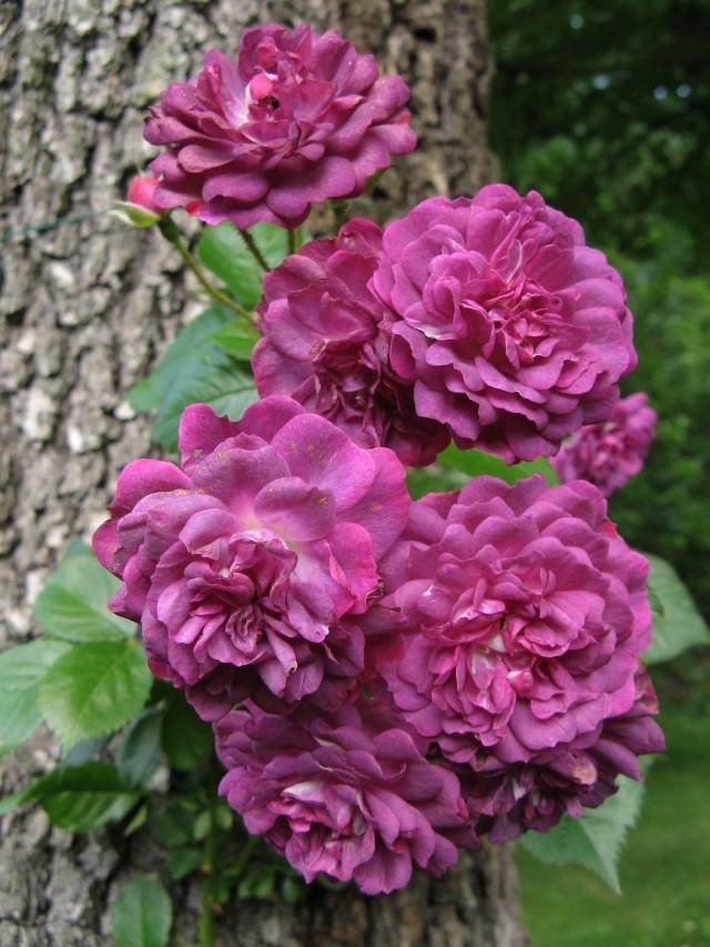 Le rosier de Brunnera Img_6710