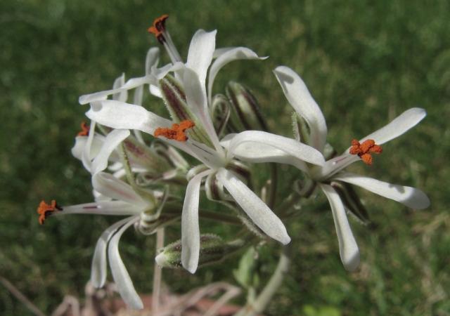 Pelargonium auritum var. carneum Img_6717