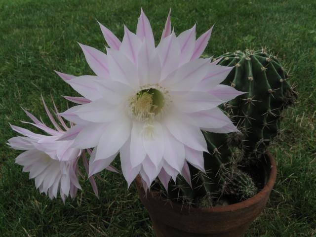 ça pique et ça fait des grosses fleurs : c'est quoi ? Img_6811