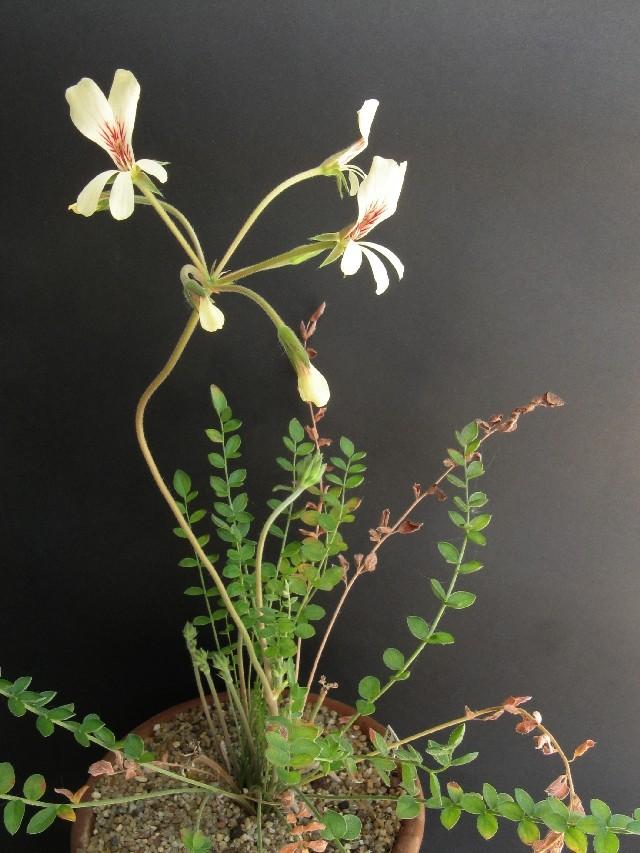 Pelargonium pinnatum Pelarg13