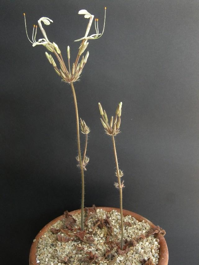 Pelargonium punctatum Pelarg15