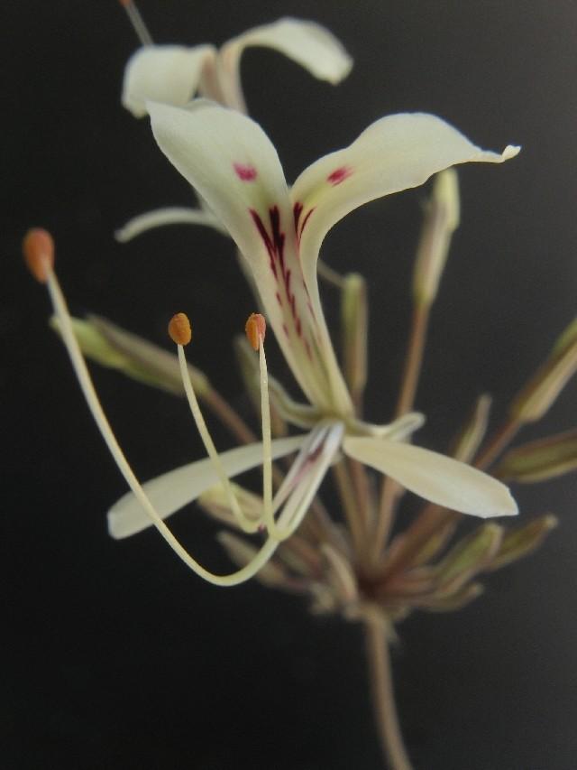 Pelargonium punctatum Pelarg17