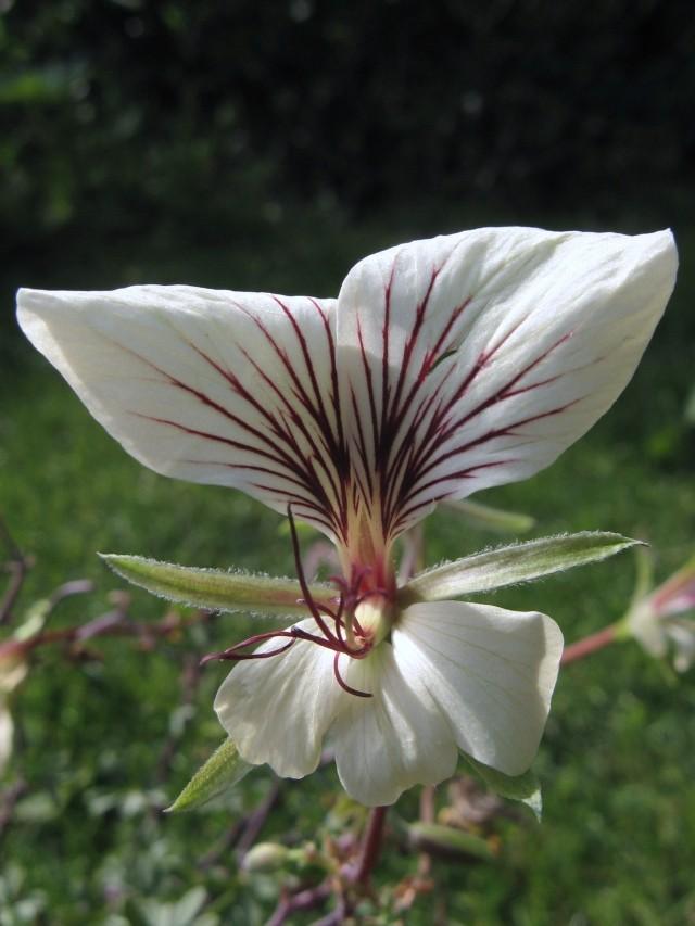 Pelargonium praemorsum ssp. praemorsum Pelarg21