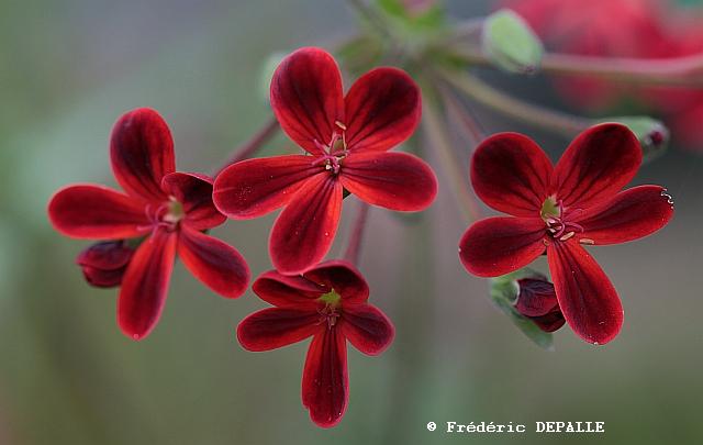 Pelargonium ardens Pelarg24