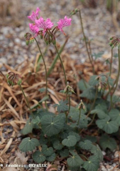 Pelargonium endlicherianum  Pelarg25