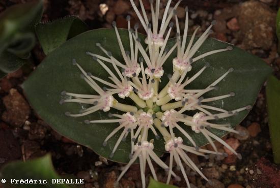 Bulbes sud africains Polyxe10