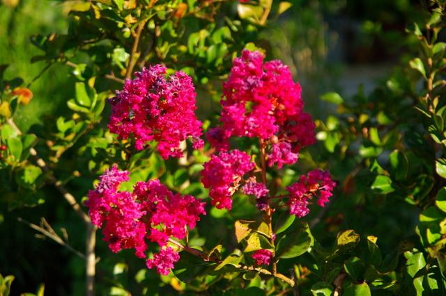 Floraisons du mois d'Août Imgp3828