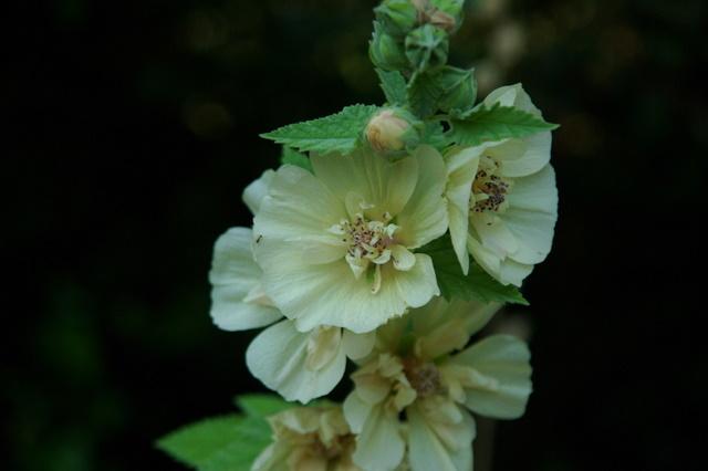 Floraisons du mois d'Août Imgp3915