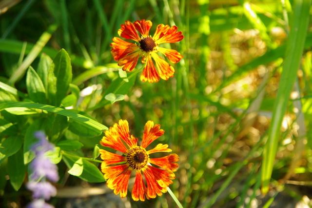 Floraisons du mois d'Août Imgp3916