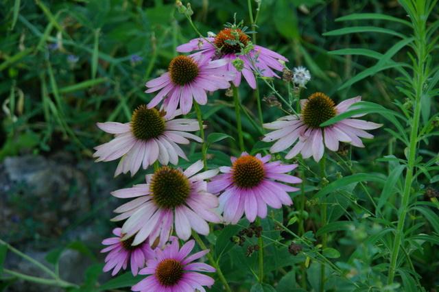Floraisons du mois d'Août Imgp3917