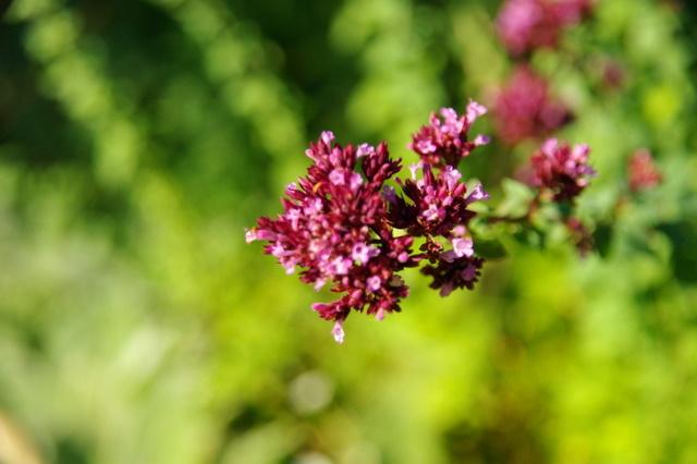 Floraisons du mois d'Août Imgp3920
