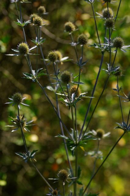 Floraisons du mois d'Août Imgp3931