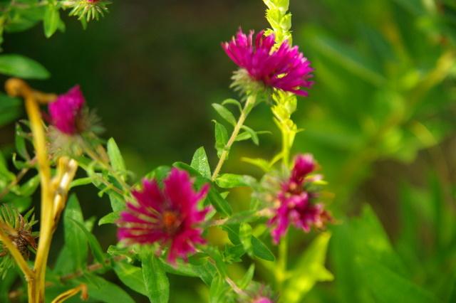 Floraisons du mois de septembre Imgp3960
