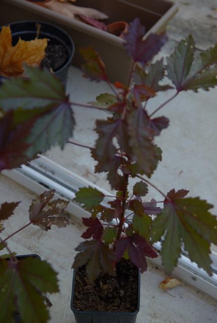 semis de graines d'hibiscus acetesolla Imgp4131
