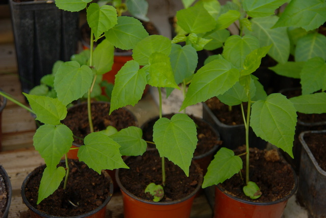 semis de graines d'hibiscus acetesolla Imgp4132