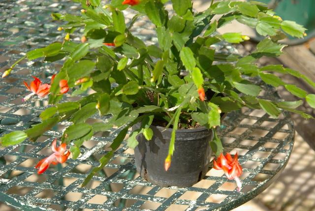 Floraisons d'intérieur  Imgp4137