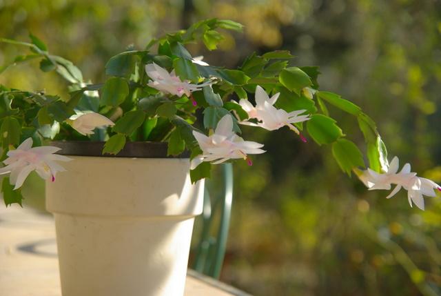 Floraisons d'intérieur  Imgp4149