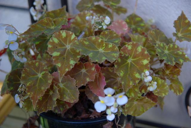 Floraisons d'intérieur  Imgp4267