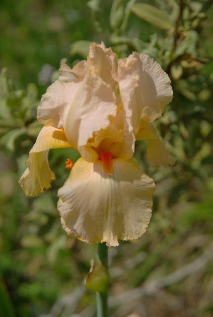 Les iris -culture, multiplication, entretien, variétés. Imgp4415