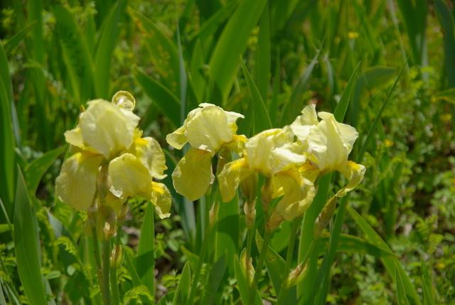 Les iris -culture, multiplication, entretien, variétés. Imgp4416