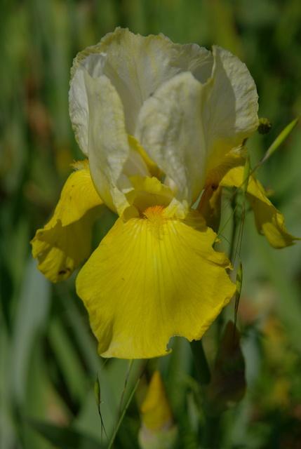 Les iris -culture, multiplication, entretien, variétés. Imgp4458