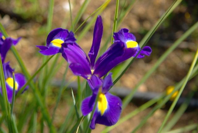 Les iris -culture, multiplication, entretien, variétés. Imgp4459