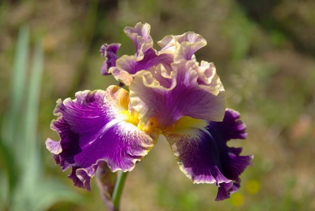 Les iris -culture, multiplication, entretien, variétés. Imgp4468