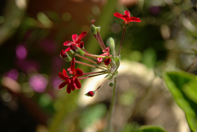 Pelargonium Imgp4713