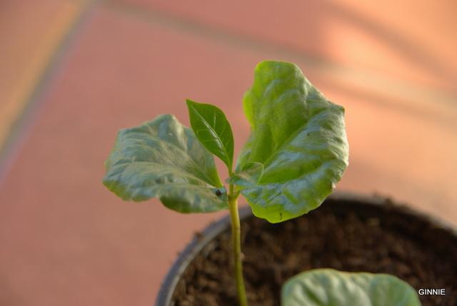 Le caféier  (Coffea arabica)-comme plante d'intérieur  Le caféier - Page 2 Imgp5236