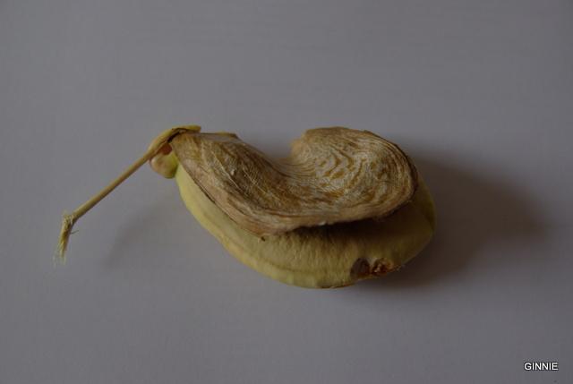 la culture du manguier, germination ... Imgp5254