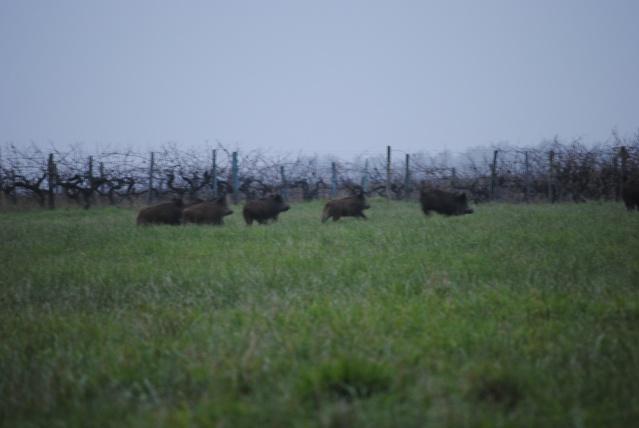 Saison Sanglier aux marais (17) Dsc_0112