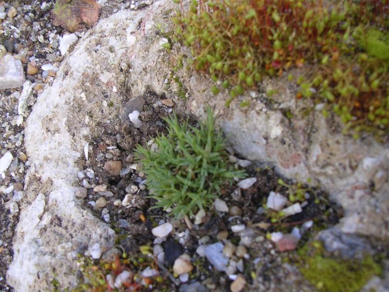 Dianthus erinaceus Dianth12
