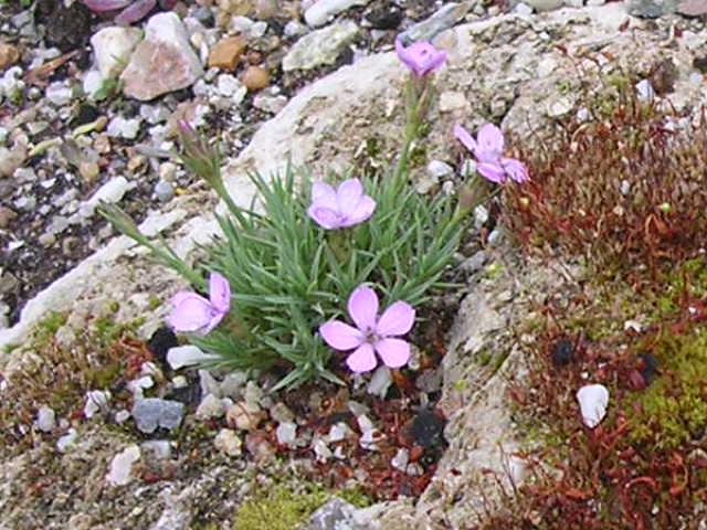 Dianthus erinaceus Dianth16