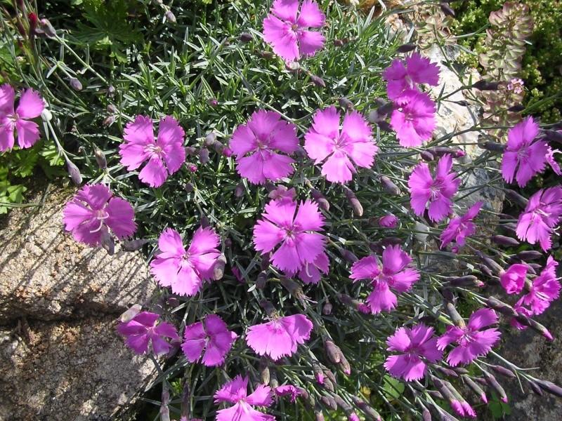 Dianthus erinaceus - Page 2 Dianth20