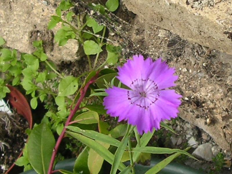 Un escargot de rocaille? Teucrium scorodonia Dianth22
