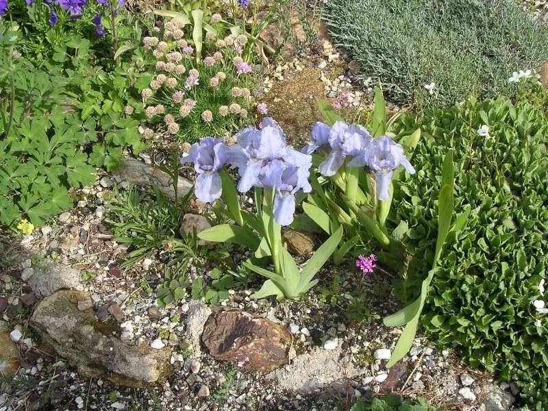 Primula Irispu10