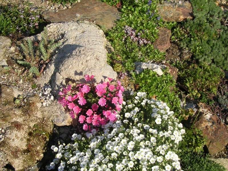 Cerastium tomentosum Lewisi13
