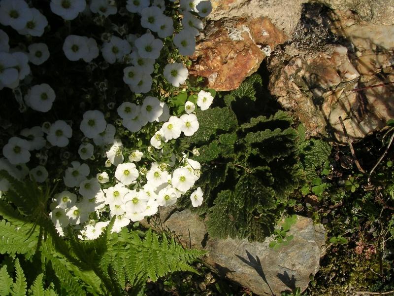 Cerastium tomentosum Ramond11