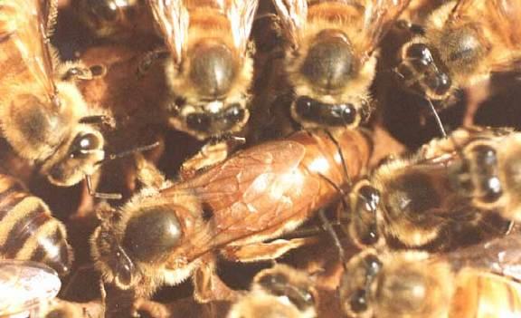 تربية النحل ............... Theque10