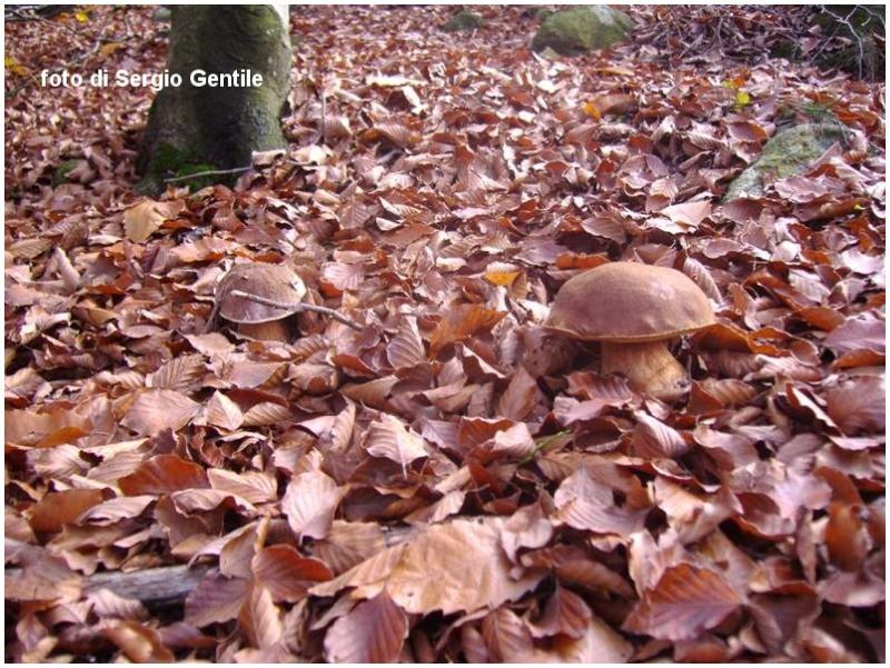 Gioielli del bosco: i miei Porcini del 2011 1_084-11