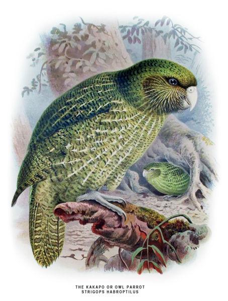 Le kakapo 454px-10