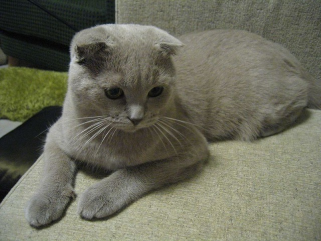 Le scottish fold 800px-26