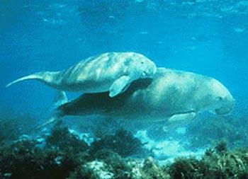 Le Dugong Dugong10