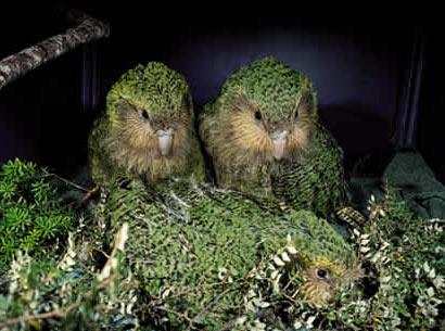 Le kakapo Kakapo10