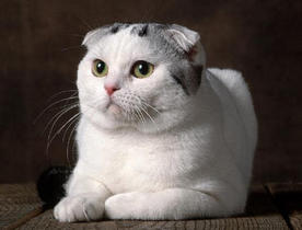 Le scottish fold Le_sco10